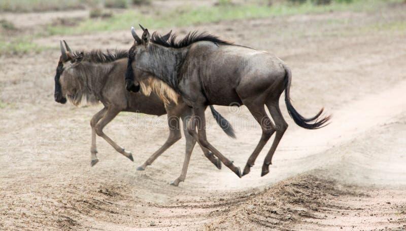 Due gnu durante la migrazione dal Serengeti fotografia stock libera da diritti