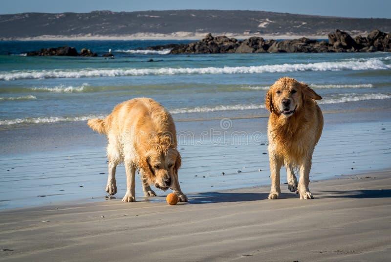 Due golden retriever bagnati che giocano sulla spiaggia immagine stock libera da diritti