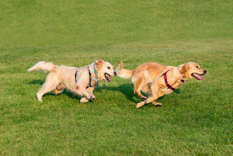 Due golden retriever che corrono sull'erba fotografie stock libere da diritti