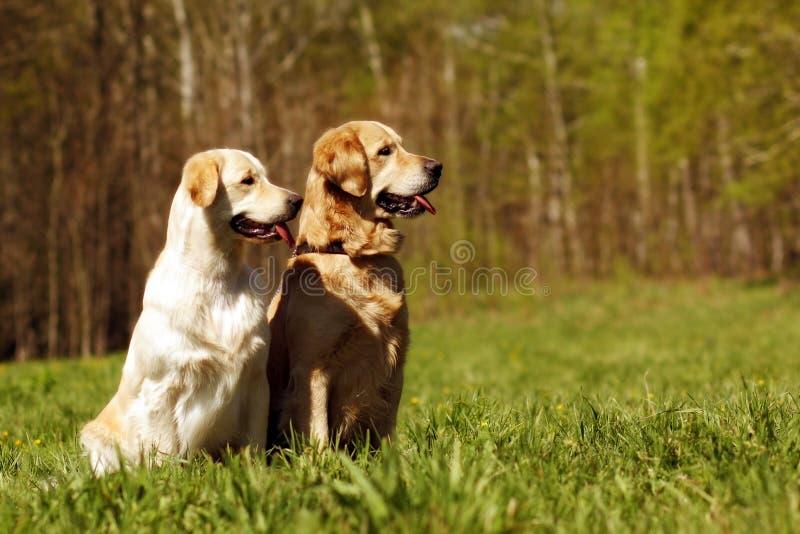 Due golden retriever dei cani fotografie stock