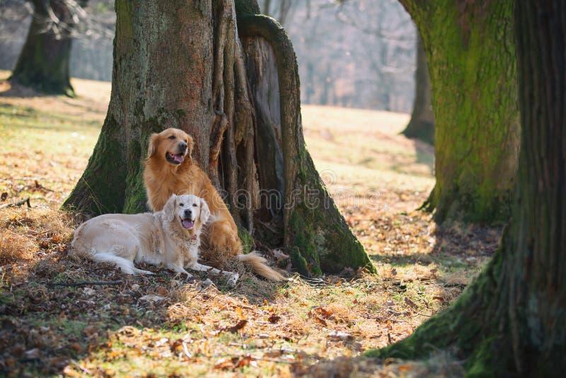 Due golden retriever sul parco immagine stock