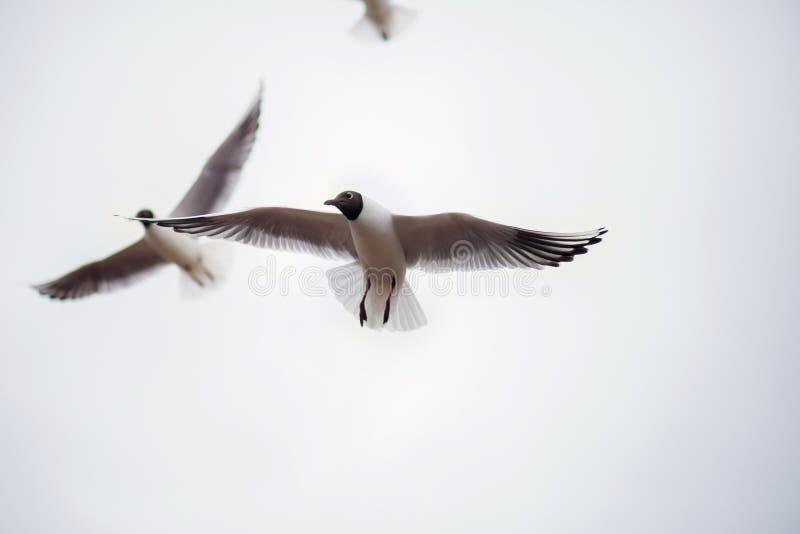 Due grandi gabbiani grassi salgono nell'alimento aspettante del cielo Uccelli impudenti con le ali aperte vicino su immagini stock libere da diritti
