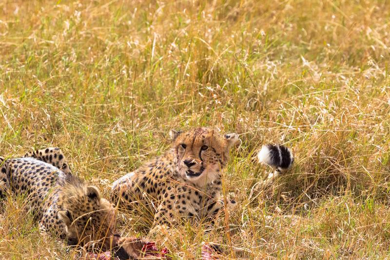 Due grandi ghepardi mangiano la preda Masai Mara, Kenia fotografie stock libere da diritti