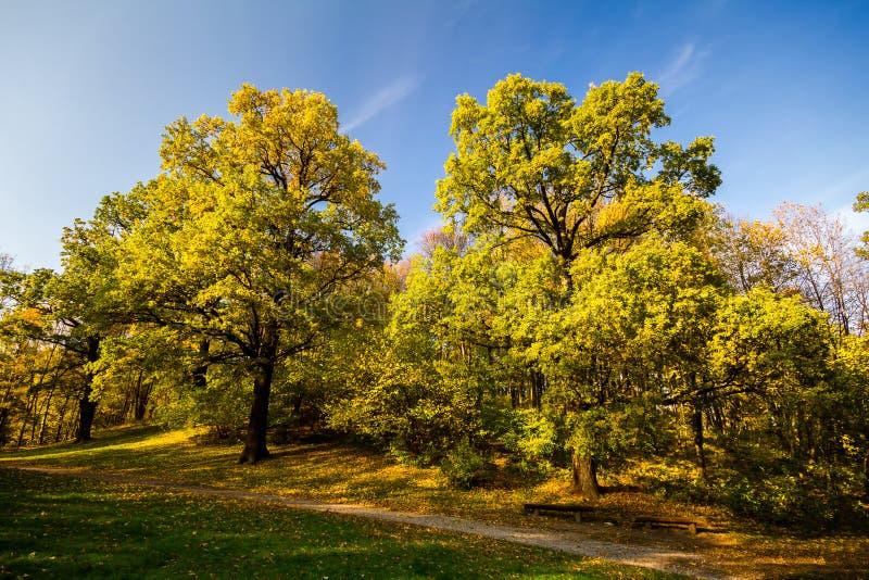 Due grandi querce di autunno con le foglie gialle fotografie stock