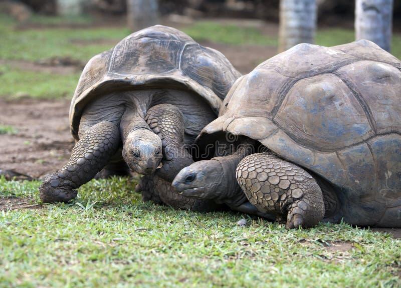 Due grandi tartarughe delle seychelles che si simpatizzano for Tartarughe grandi