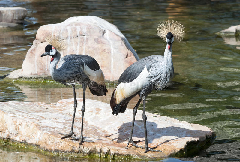 Due Grey Crowned Cranes immagini stock