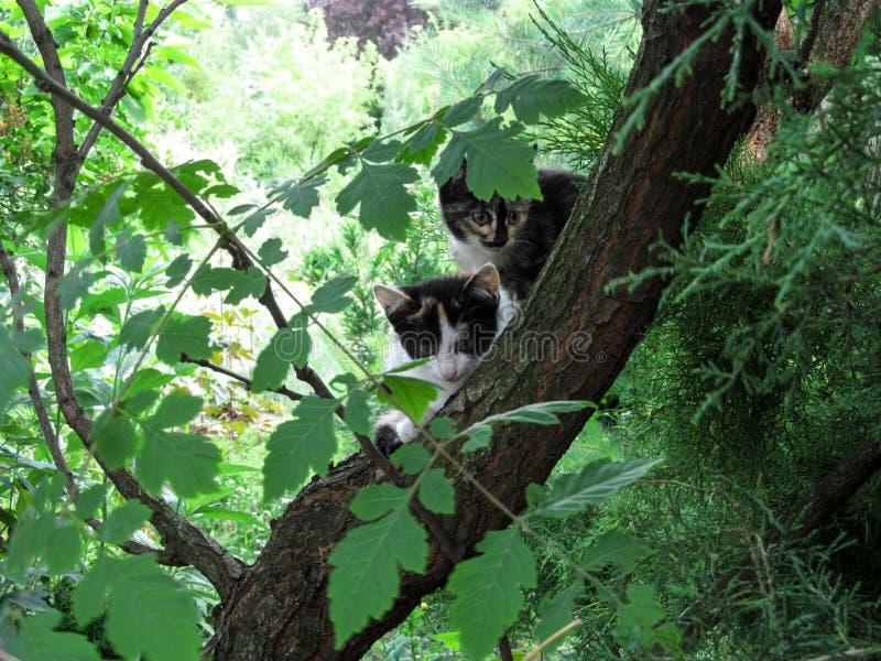 Due hanno macchiato i giovani gatti di casa che si siedono su un orologio dell'albero nelle direzioni differenti fotografia stock
