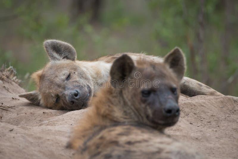 Due hanno macchiato le iene che riposano all'entrata alla loro tana fotografie stock