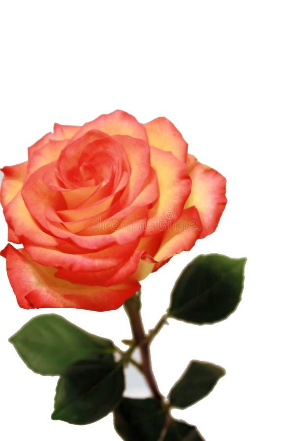 Due hanno modificato Rosa la tonalità isolata fotografia stock