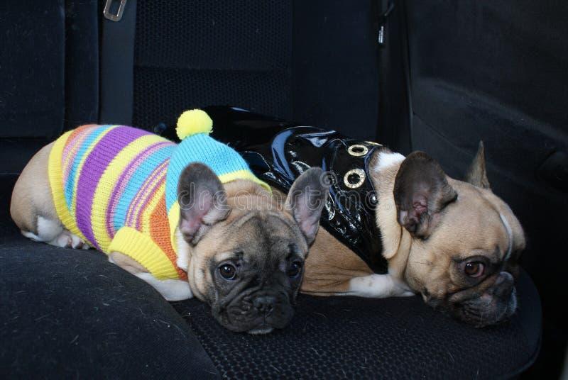 Due hanno vestito i bulldog francesi nell'automobile immagine stock libera da diritti