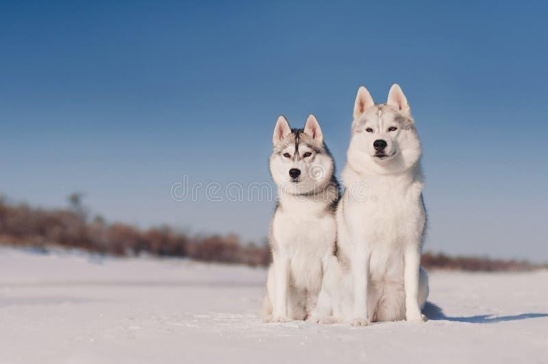 Due husky siberiani grigi che si siedono, fondo della neve fotografia stock libera da diritti