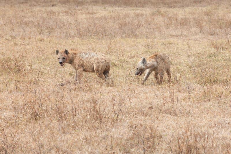 Due iene in savanna della Tanzania, Africa, crocuta del Crocuta, hanno macchiato l'iena fotografie stock libere da diritti