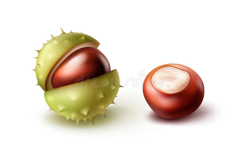 Due ippocastani illustrazione di stock