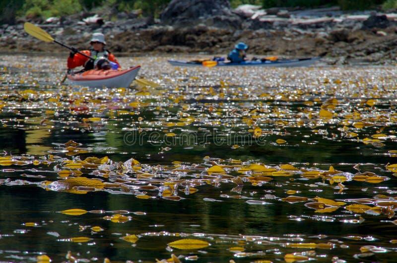 Due kajak del mare remano attraverso fuco gigante a bassa marea vicino ad un sole roccioso della riva di mattina immagini stock libere da diritti