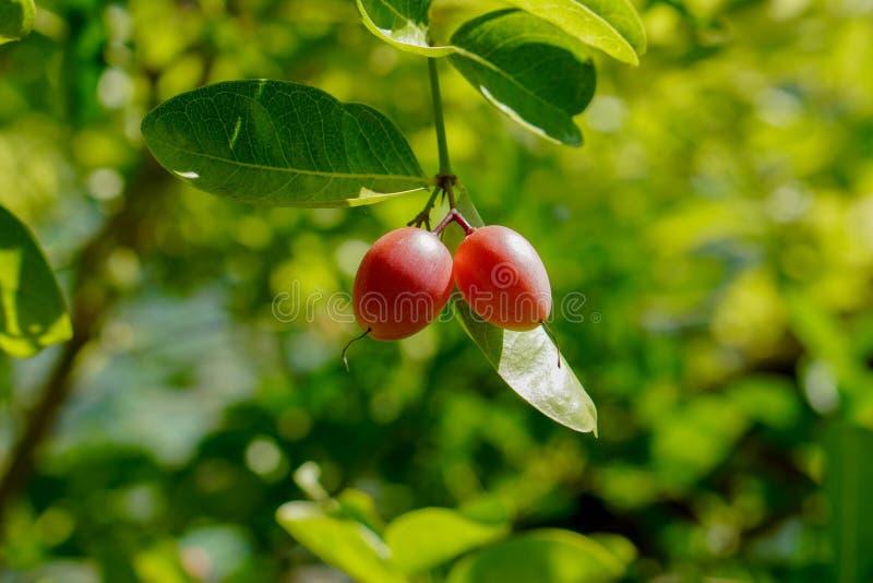 Due Karanda, Carunda, frutta della spina dei 's di Cristo sul fondo dell'albero, fondo della natura della sfuocatura, spazio de fotografia stock