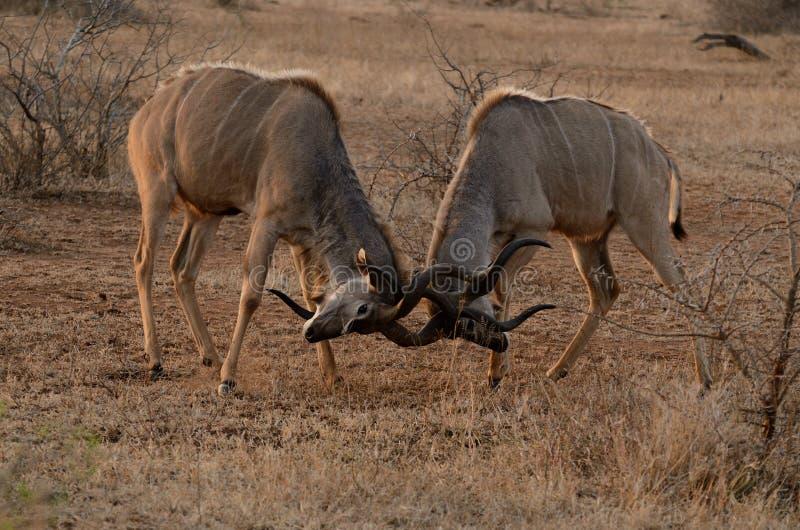 Due Kudus combattente immagini stock libere da diritti