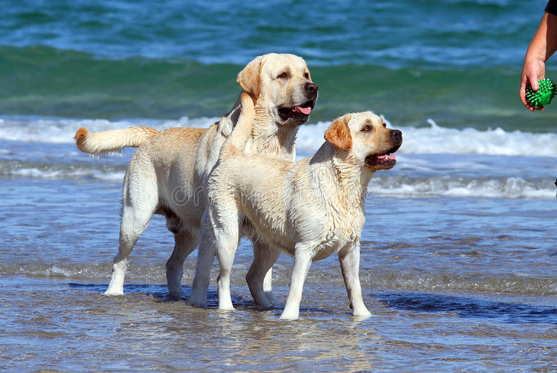 Due labradors al mare con una palla immagini stock