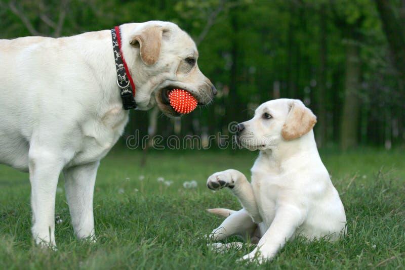 Due labradors che giocano con una sfera fotografia stock libera da diritti