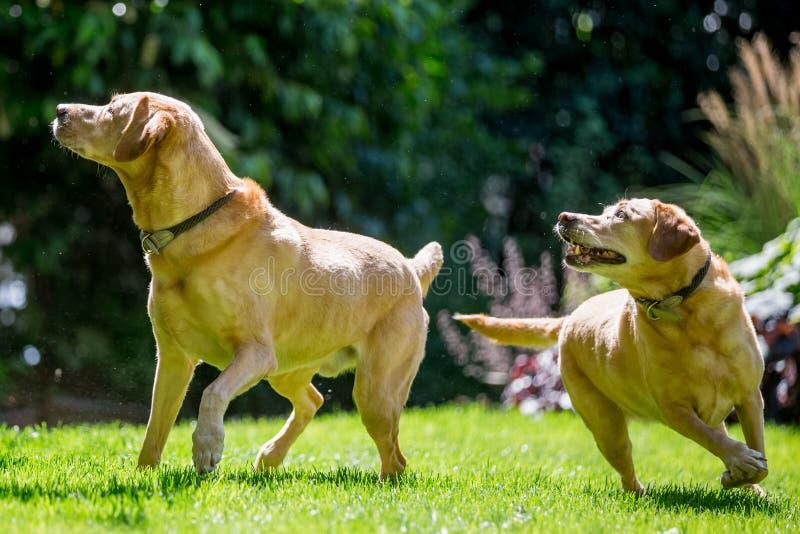 Due Labradors circa per prendere una palla o un bastone dalla parte anteriore un giorno soleggiato immagini stock libere da diritti