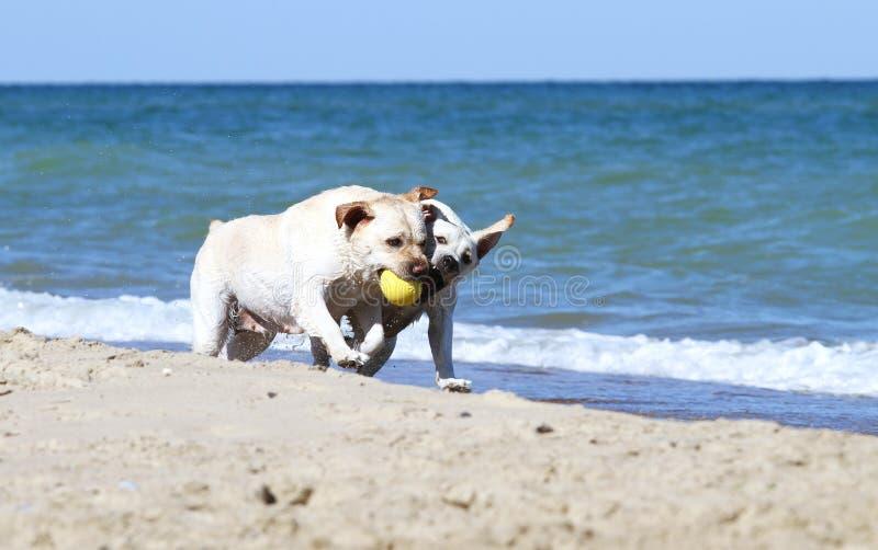 Due labradors gialli che corrono al mare con i giocattoli fotografia stock