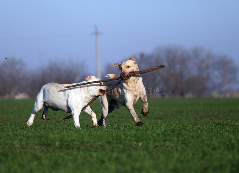 Due labradors gialli che giocano nel campo fotografia stock libera da diritti
