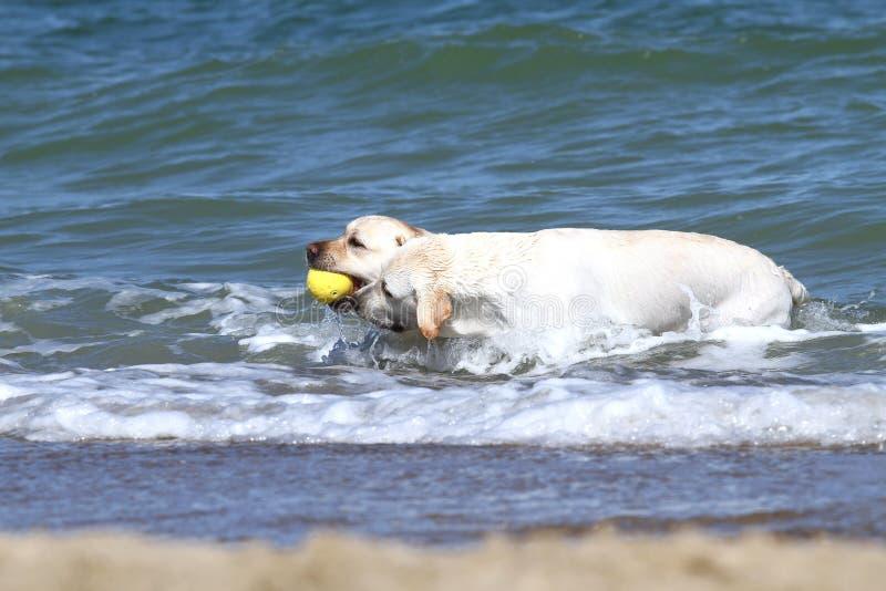 Due labradors gialli che nuotano nel mare con i giocattoli fotografia stock