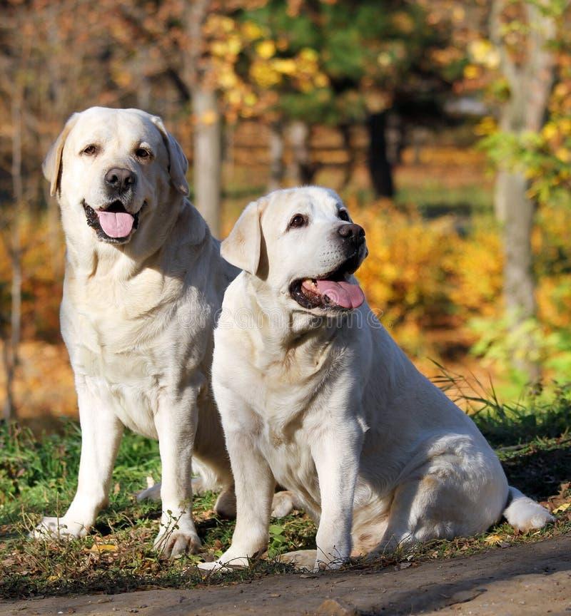 Due labradors gialli nella sosta in autunno immagine stock libera da diritti