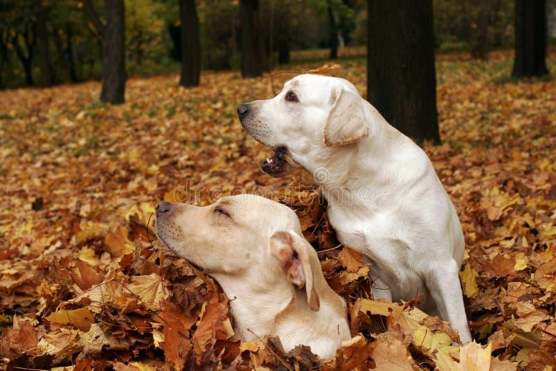Due labradors gialli nella sosta in fogli di autunno fotografia stock libera da diritti