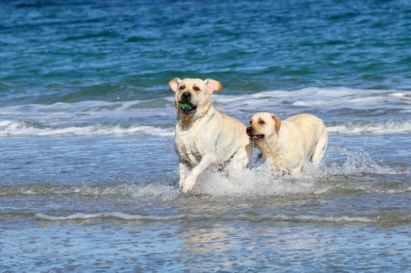 Due labradors svegli al mare con una palla fotografia stock libera da diritti