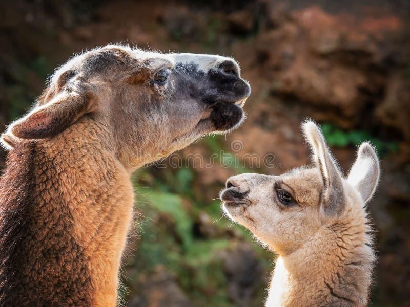 Due lama madre e bambino vicino sull'azienda agricola immagine stock libera da diritti
