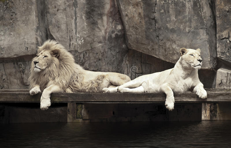 Due leoni fotografie stock