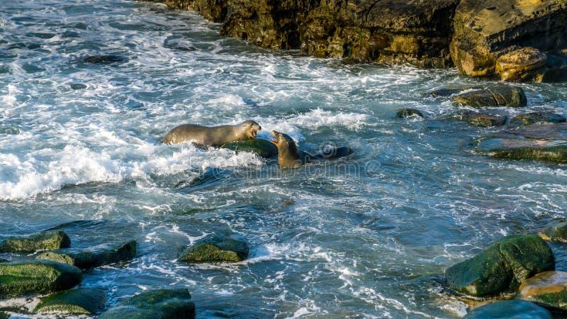 Due leoni marini che combattono, un maschio che defensing la sua famiglia immagine stock