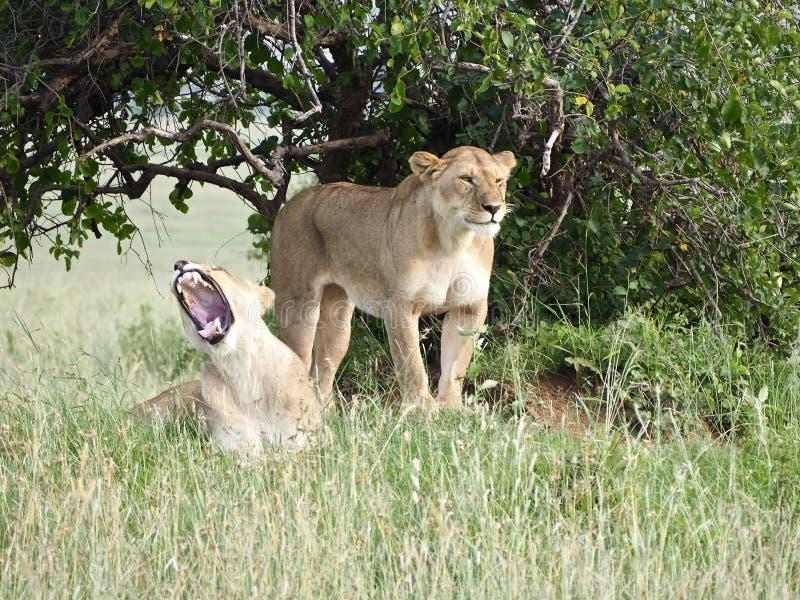 Due Lionesses immagini stock