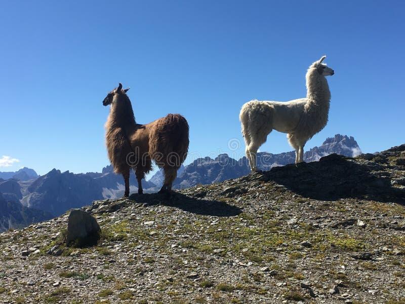 Due llamas a sud Tirol immagine stock
