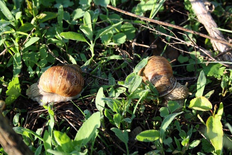 Due lumache sulla terra immagine stock