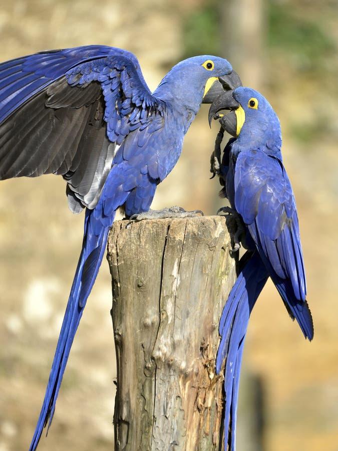 Due Macaws del giacinto fotografia stock libera da diritti