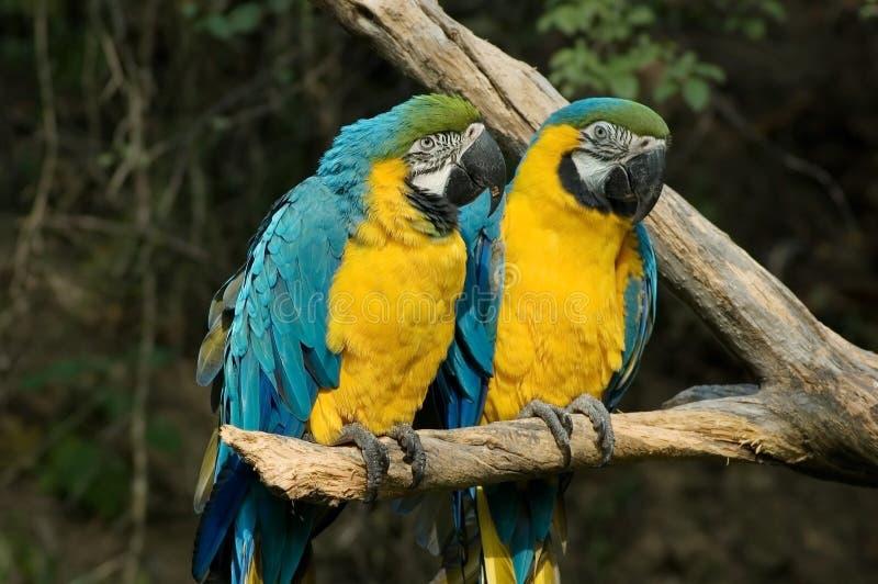 Due Macaws dell'oro e blu immagini stock libere da diritti