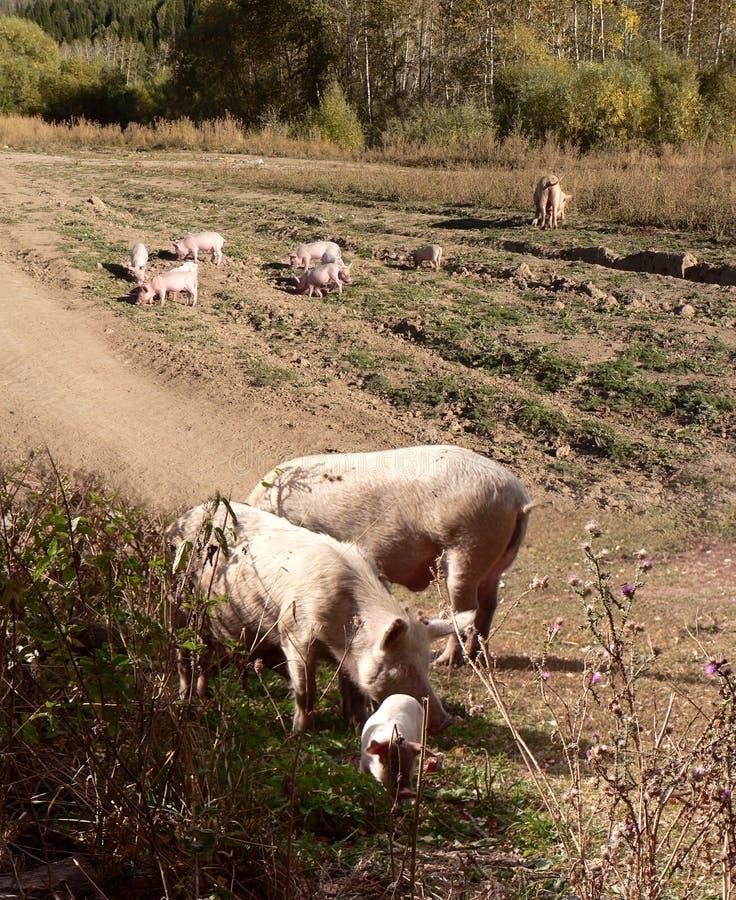 Due maiali adulti e molti piccoli porcellini fotografie stock libere da diritti