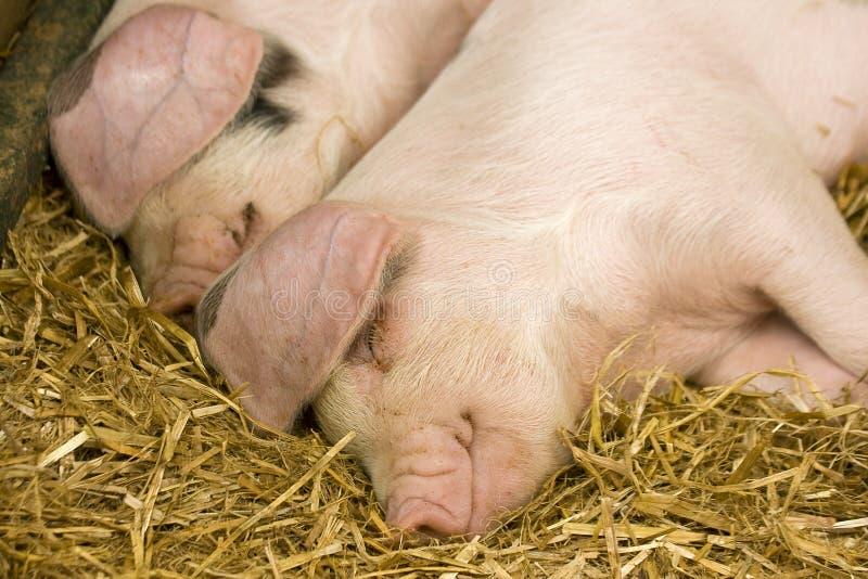 Due maiali che dormono sulla paglia fotografie stock
