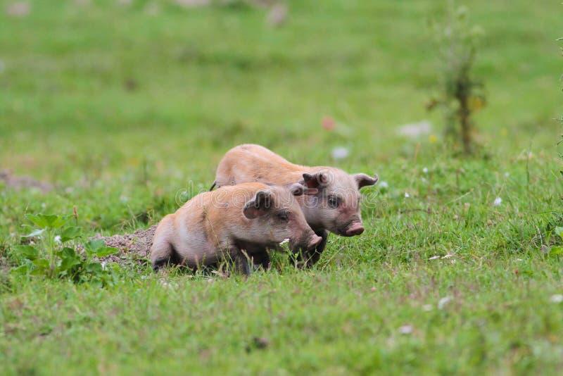 Due maiali svegli fotografia stock