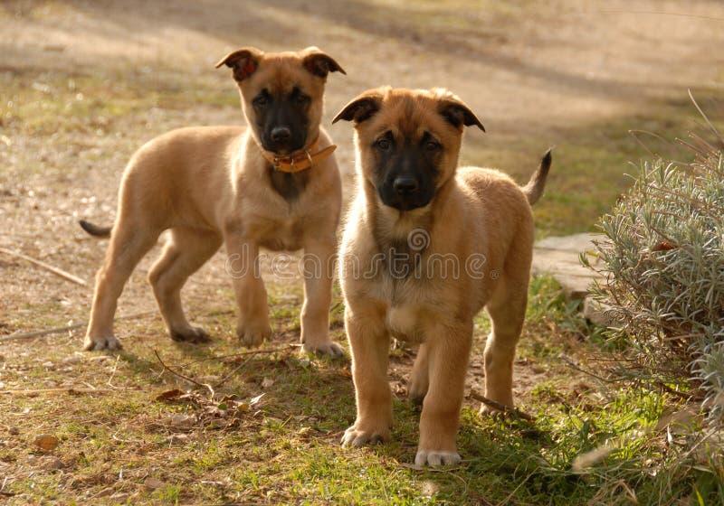 Due malinois dei cuccioli fotografia stock