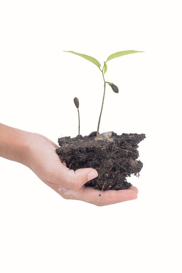 Due mani che tengono albero ed isolato su fondo bianco immagine stock libera da diritti