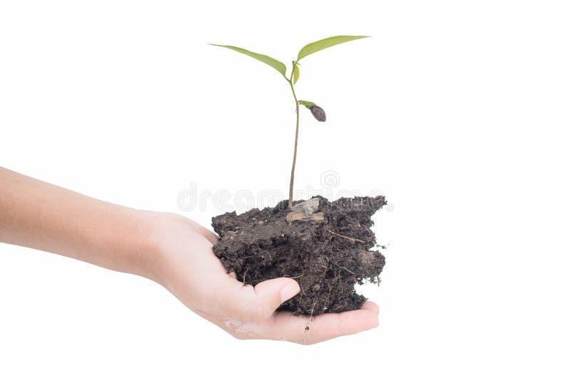 Due mani che tengono albero ed isolato su fondo bianco fotografia stock libera da diritti