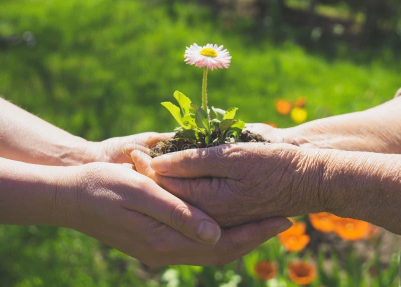 Due mani che tengono fiore immagini stock