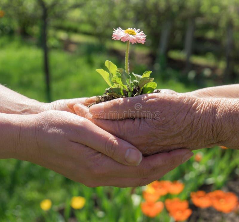 Due mani che tengono fiore immagine stock libera da diritti