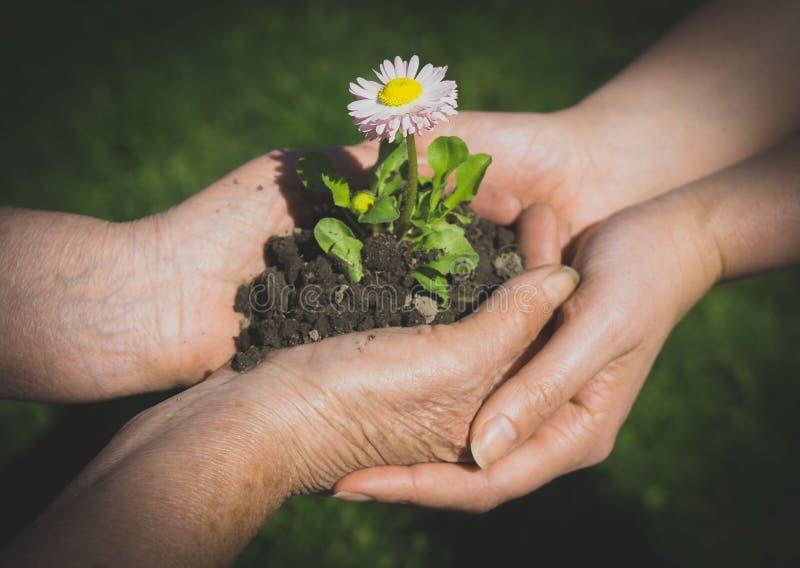 Due mani che tengono fiore fotografia stock libera da diritti