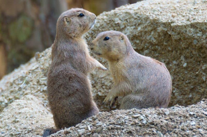 Due marmotte nordamericane sulla collina sabbiosa fotografia stock