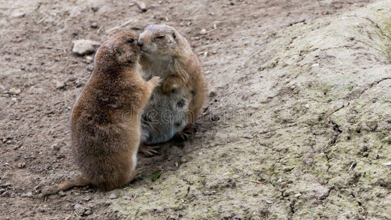 Due marmotte stringenti a s? fotografia stock libera da diritti