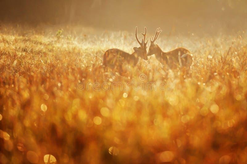 Due maschi intasano i cervi che combattono nel campo nebbioso immagine stock