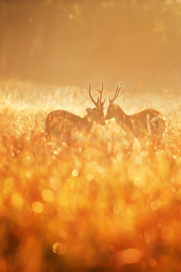 Due maschi intasano i cervi che combattono nel campo nebbioso immagine stock libera da diritti
